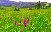 Wildflowers in the Rhodope mountains in Bulgaria