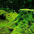 Moss in a Norwegian ancient forest