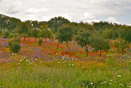 Wildflowers with fruit trees in Alentejo