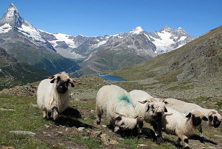 Sheep in the Alps in Switzerland