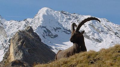 View on high snow-capped mountains of Gran Paradiso with an Ibex in the foreground.