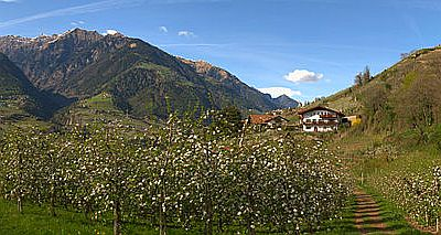 Wide angle view of a valley in the Italian Alps with flowering fruit trees.