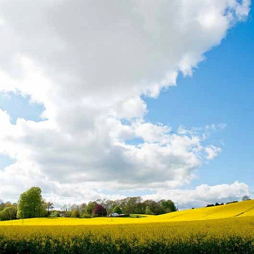A landscape in Herefordshire with sunflowers.