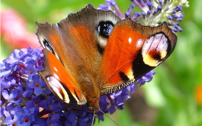 close up of Peacock Butterfly