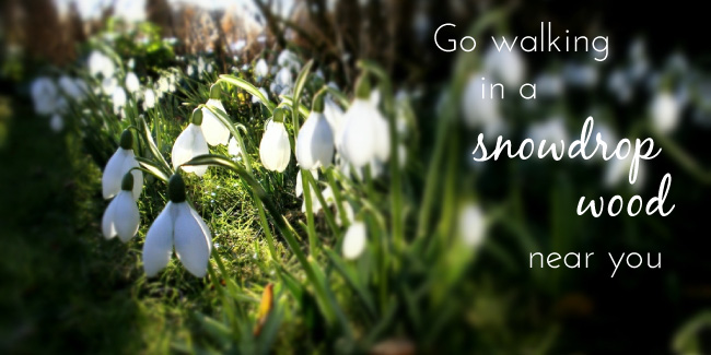 Go walking in snowdrop wood near you
