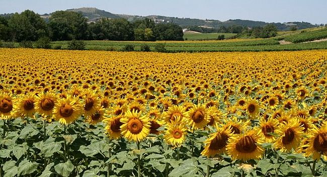 Sunflower field in Carcassonne region