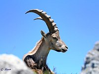 Ibex on a rock in the sun under a blue sky