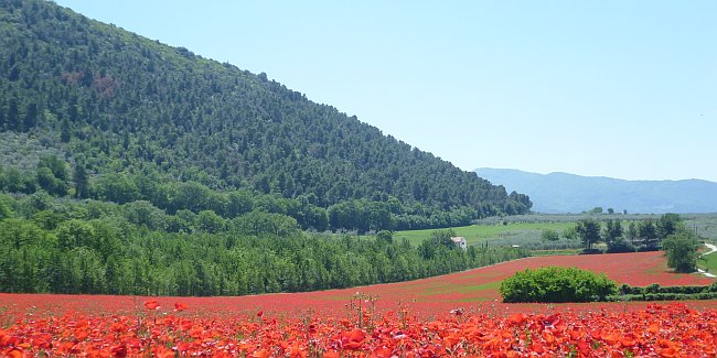A field of red poppies in front of an undulating landscape in Umbria