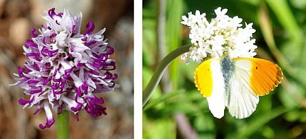 Bulbous flowers and an orangetip butterfly