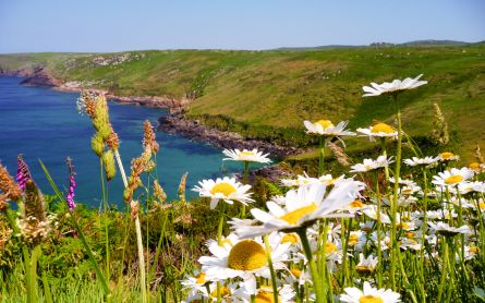 Diasies flowers among other wildflowers along the coastline in Cornwall