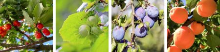Set of 4 photos of fruiting trees