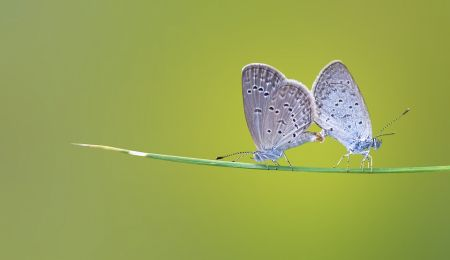 A pair of blue butterflies on a stalk of grass