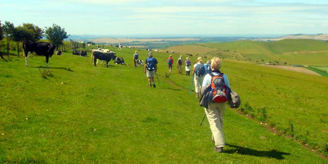 A group of walkers hiking over a grass path on a ridge with cows on the side