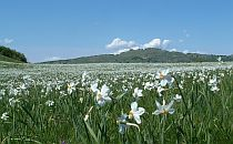 Huge field of white flowers
