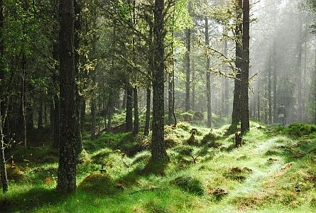 Green old forest sun comming through the trees
