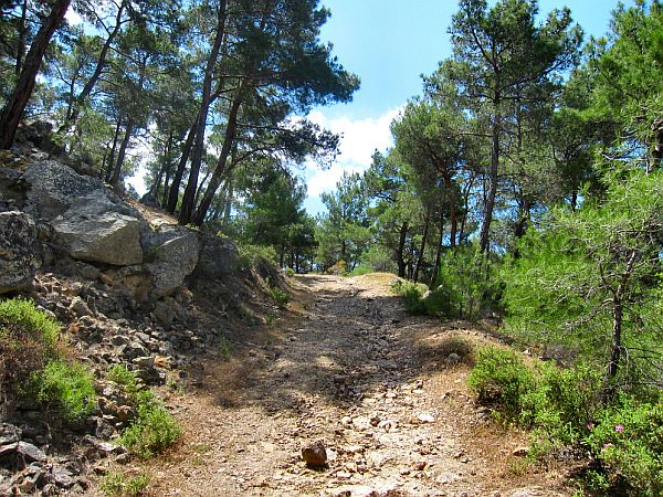 track through a forest of pines with green spring vegetation