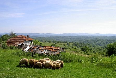 Small flock of sheep and panoramic view of the Strandja Mountains