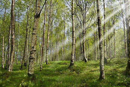 spring birch forest with beautiful light beams