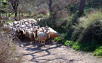 Mixed flock of sheep and goats coming up a stone track