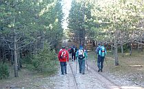People walking on a path in a pine forest