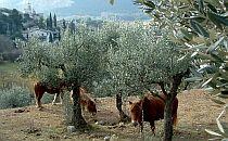 Donkey along olive trees