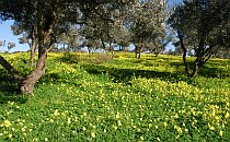Orchard of olive trees and yellow flowers