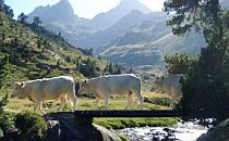 White cows walking over a ridge crossing a mountain stream in the Pyrenees
