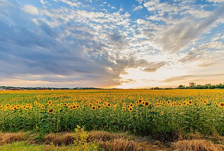 view on sunflower field in hungarian countryside
