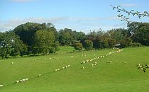 rural scene with sheep in the mendips