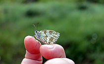Butterfly landed on a fingertip