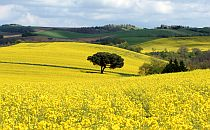 Fields of yellow rapeseed flowers in France