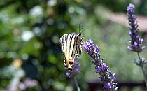Swallowtail butterfly on lavender flower