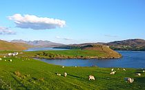 Sheep enjoying fresh green grass on a field with a lake on a side