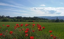 Green meadow with red poppies