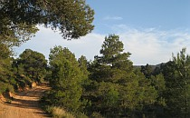 Walking path in a pine forest