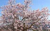 Almond tree in blossom to enjoy during your walking holiday in Catalonia