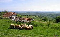 Sheep herd crazing on soft green grass