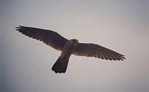 Bird in a flight
