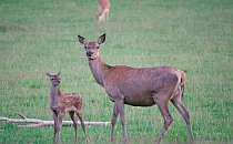 Red deer with its baby