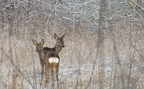 Two red deers on a meadow covered with snow