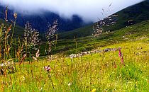 Wild flowers on a green meadow in the Highlands