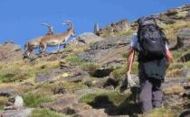 Person walking towards a group of ibex on a mountainside