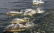 A dolphin family