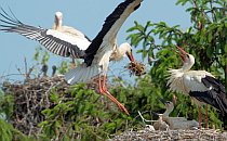 Stork landing on a nest of chicks