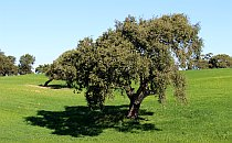 Mature olive tree in a green grassy meadow
