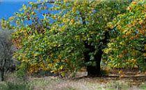 Large broadleaved tree in the Sierra de Aracena countryside