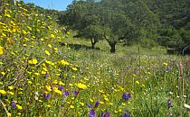 Cork-trees at the foor of a gently sloping hill. Yellow and purple wildflowers grow on the hillside.