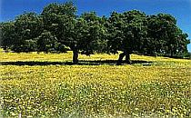 A group of dark green leaved trees in a field of yellow flowers under a clear blue sky.