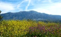 Yellow and purple flowers in front of a high mountain under a blue sky