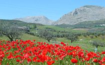 Field of poppies in front of an olive tree orchard. Clear blue sky and mountains in the background.